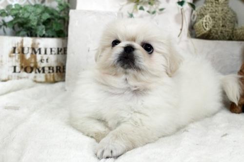 ペキニーズの子犬(ID:1255411507)の2枚目の写真/更新日:2021-02-21