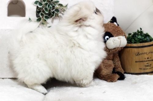 ペキニーズの子犬(ID:1255411507)の3枚目の写真/更新日:2021-02-21