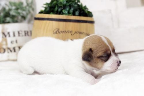 ジャックラッセルテリアの子犬(ID:1255411509)の2枚目の写真/更新日:2018-12-30