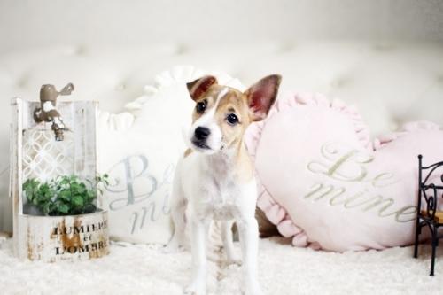 ジャックラッセルテリアの子犬(ID:1255411510)の1枚目の写真/更新日:2019-02-08