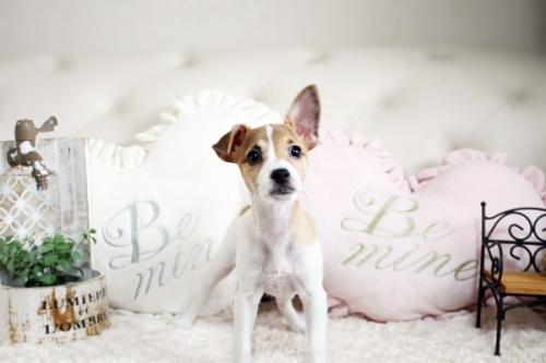 ジャックラッセルテリアの子犬(ID:1255411510)の2枚目の写真/更新日:2019-02-08