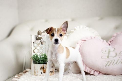 ジャックラッセルテリアの子犬(ID:1255411510)の3枚目の写真/更新日:2019-02-08