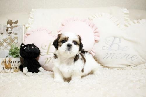 シーズーの子犬(ID:1255411514)の2枚目の写真/更新日:2017-02-06
