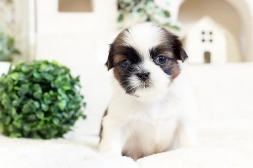 シーズーの子犬(ID:1255411515)の2枚目の写真/更新日:2019-10-23
