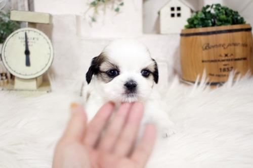 シーズーの子犬(ID:1255411516)の2枚目の写真/更新日:2019-09-03