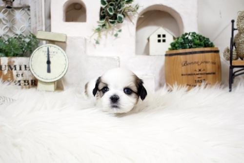 シーズーの子犬(ID:1255411516)の3枚目の写真/更新日:2019-09-03