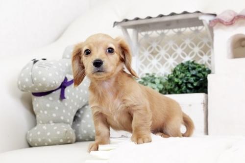 カニンヘンダックスフンド(ロング)の子犬(ID:1255411519)の1枚目の写真/更新日:2017-01-19