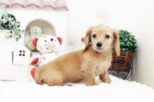 カニンヘンダックスフンド(ロング)の子犬(ID:1255411519)の2枚目の写真/更新日:2017-01-19
