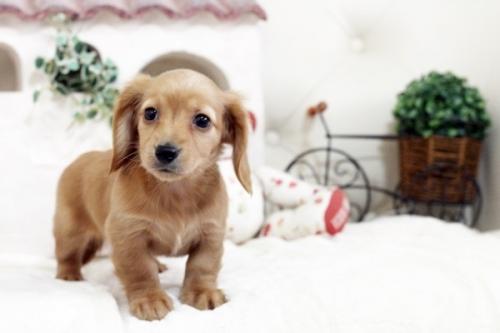 カニンヘンダックスフンド(ロング)の子犬(ID:1255411519)の3枚目の写真/更新日:2017-01-19