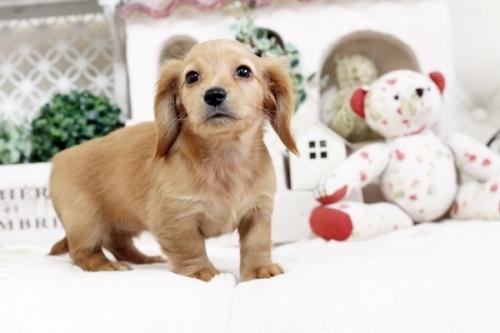 カニンヘンダックスフンド(ロング)の子犬(ID:1255411519)の4枚目の写真/更新日:2017-01-19
