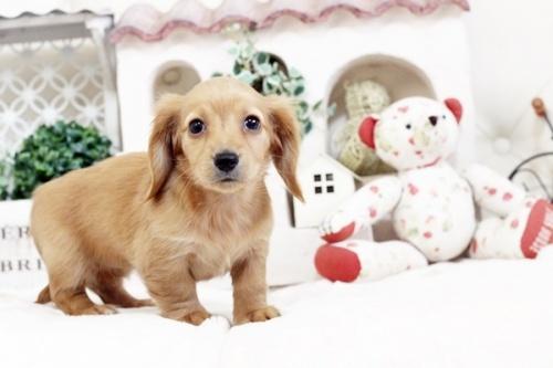 カニンヘンダックスフンド(ロング)の子犬(ID:1255411519)の5枚目の写真/更新日:2017-01-19