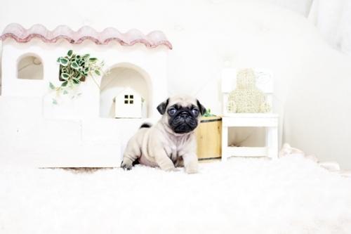 パグの子犬(ID:1255411525)の2枚目の写真/更新日:2017-01-24