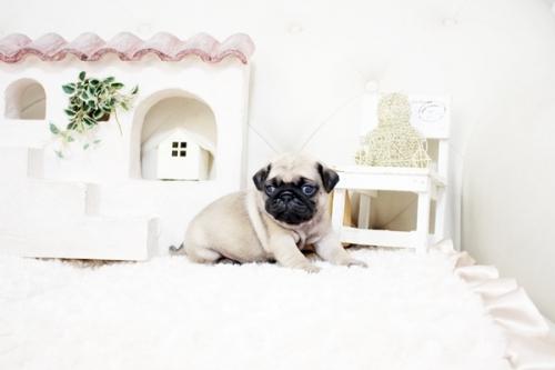 パグの子犬(ID:1255411525)の3枚目の写真/更新日:2021-05-13