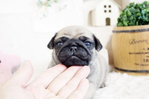 パグの子犬(ID:1255411526)の1枚目の写真/更新日:2021-06-14