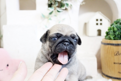 パグの子犬(ID:1255411526)の2枚目の写真/更新日:2021-06-14