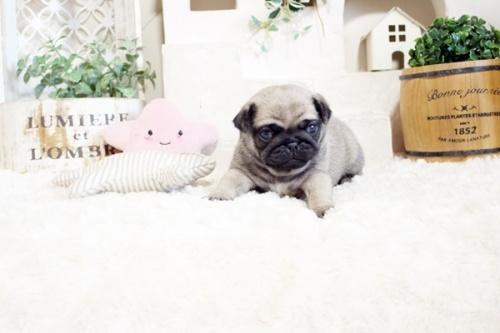 パグの子犬(ID:1255411526)の3枚目の写真/更新日:2017-01-24
