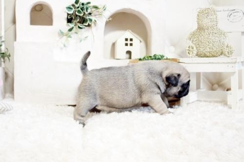 パグの子犬(ID:1255411526)の4枚目の写真/更新日:2017-03-13