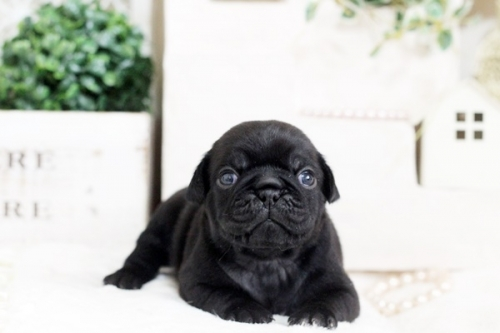 パグの子犬(ID:1255411527)の1枚目の写真/更新日:2017-01-24