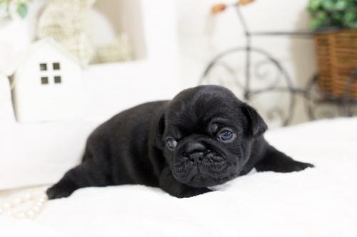 パグの子犬(ID:1255411527)の3枚目の写真/更新日:2017-01-24