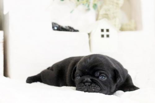 パグの子犬(ID:1255411528)の3枚目の写真/更新日:2017-01-24