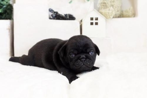 パグの子犬(ID:1255411528)の4枚目の写真/更新日:2017-01-24