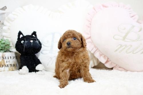 トイプードルの子犬(ID:1255411530)の1枚目の写真/更新日:2018-12-20