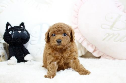 トイプードルの子犬(ID:1255411530)の2枚目の写真/更新日:2018-12-20
