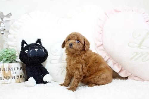 トイプードルの子犬(ID:1255411530)の3枚目の写真/更新日:2020-12-01