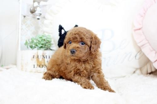 トイプードルの子犬(ID:1255411530)の4枚目の写真/更新日:2020-12-01