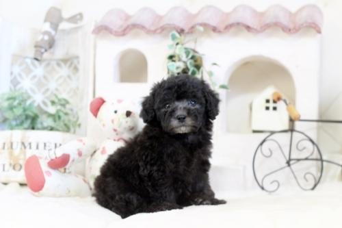 トイプードルの子犬(ID:1255411531)の1枚目の写真/更新日:2018-12-07