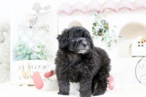 トイプードルの子犬(ID:1255411531)の2枚目の写真/更新日:2018-12-07