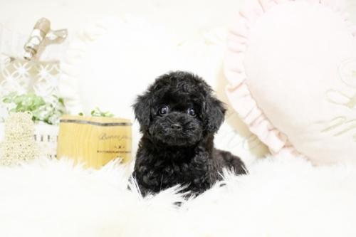 トイプードルの子犬(ID:1255411532)の1枚目の写真/更新日:2018-12-07