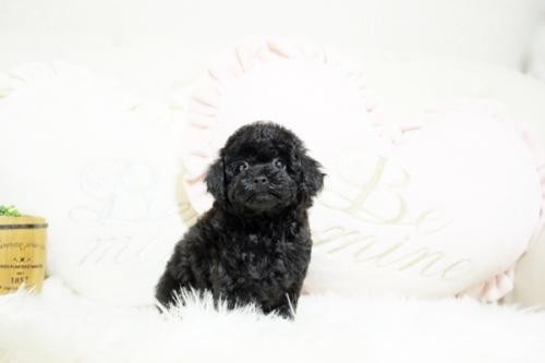 トイプードルの子犬(ID:1255411532)の2枚目の写真/更新日:2018-12-07
