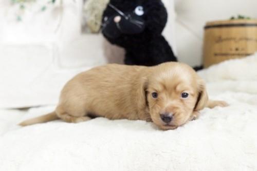 カニンヘンダックスフンド(ロング)の子犬(ID:1255411534)の2枚目の写真/更新日:2017-01-26