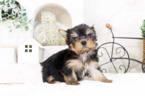 ヨークシャーテリアの子犬(ID:1255411535)の1枚目の写真/更新日:2017-01-26