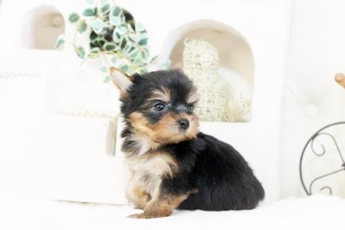 ヨークシャーテリアの子犬(ID:1255411535)の2枚目の写真/更新日:2017-01-26