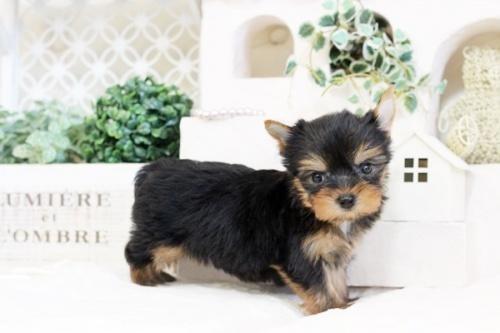 ヨークシャーテリアの子犬(ID:1255411535)の3枚目の写真/更新日:2017-01-26