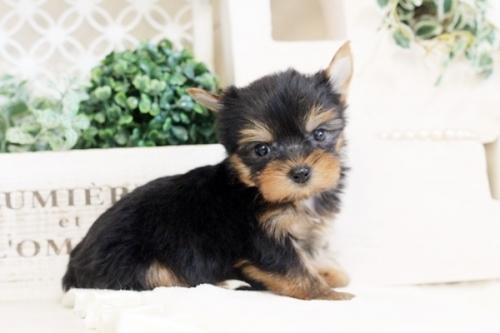 ヨークシャーテリアの子犬(ID:1255411535)の4枚目の写真/更新日:2017-01-26