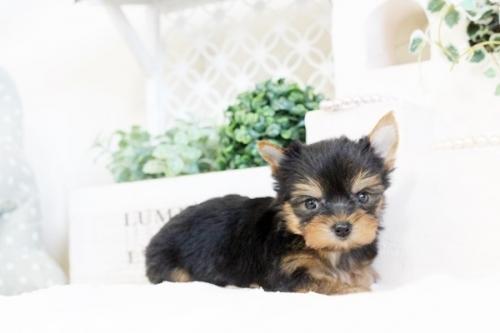 ヨークシャーテリアの子犬(ID:1255411535)の5枚目の写真/更新日:2017-01-26