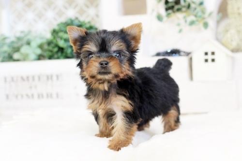 ヨークシャーテリアの子犬(ID:1255411536)の1枚目の写真/更新日:2017-01-26