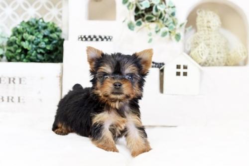 ヨークシャーテリアの子犬(ID:1255411536)の2枚目の写真/更新日:2017-01-26
