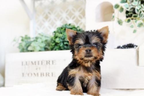 ヨークシャーテリアの子犬(ID:1255411536)の3枚目の写真/更新日:2017-01-26