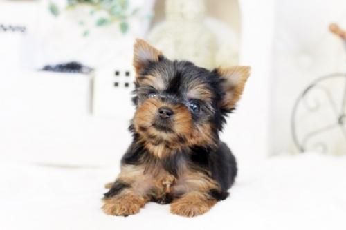 ヨークシャーテリアの子犬(ID:1255411536)の4枚目の写真/更新日:2017-01-26
