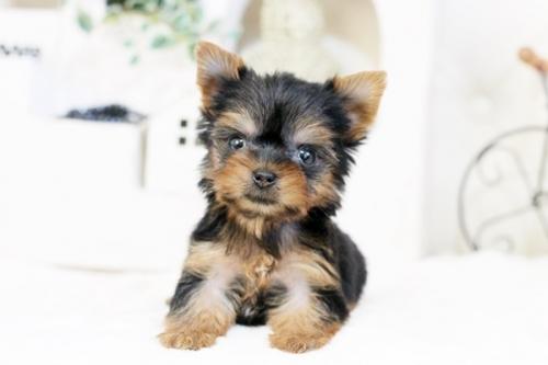 ヨークシャーテリアの子犬(ID:1255411536)の5枚目の写真/更新日:2017-01-26