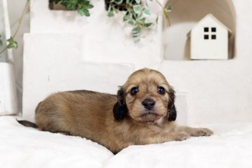 カニンヘンダックスフンド(ワイアー)の子犬(ID:1255411537)の1枚目の写真/更新日:2017-01-26