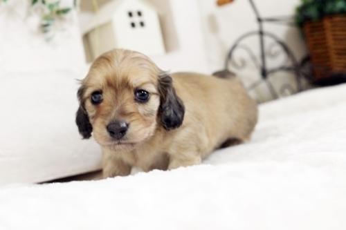 カニンヘンダックスフンド(ワイアー)の子犬(ID:1255411537)の2枚目の写真/更新日:2017-01-26