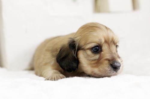 カニンヘンダックスフンド(ワイアー)の子犬(ID:1255411537)の3枚目の写真/更新日:2017-01-26