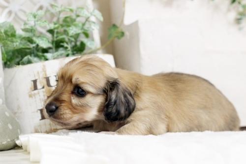 カニンヘンダックスフンド(ワイアー)の子犬(ID:1255411537)の4枚目の写真/更新日:2017-01-26