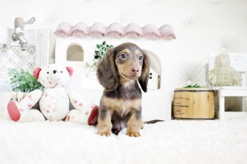 カニンヘンダックスフンド(ロング)の子犬(ID:1255411538)の1枚目の写真/更新日:2021-05-05