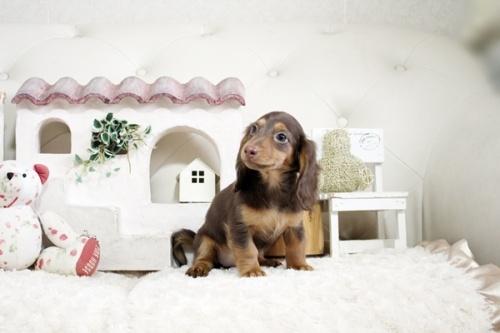 カニンヘンダックスフンド(ロング)の子犬(ID:1255411538)の2枚目の写真/更新日:2021-05-05